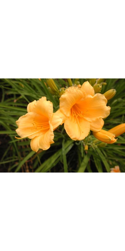 daylily blooms: FOREVER STELLA