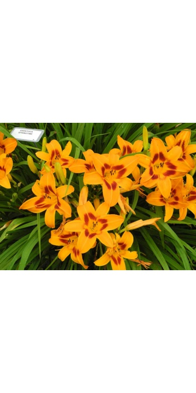 daylily blooms: bloom