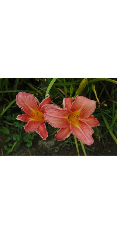 daylily blooms: SHINE ON (VT)