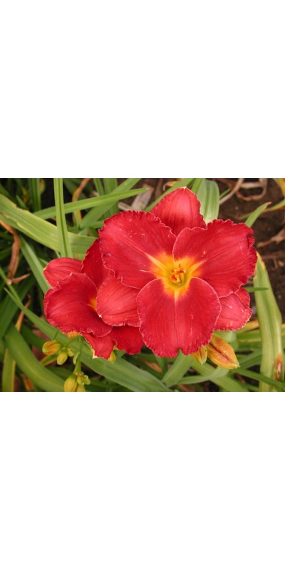 daylily blooms: SHOW GIRL SMILE