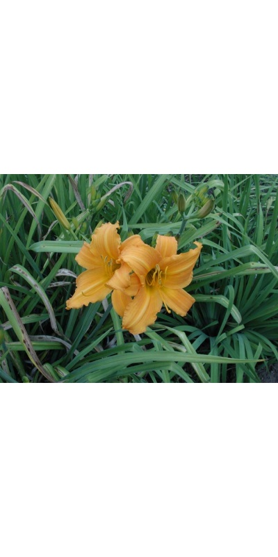 daylily blooms: SHOWLIGHT (VT)