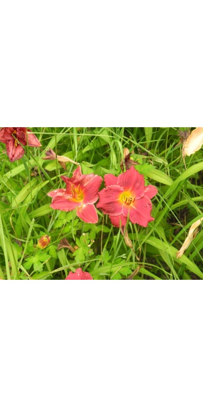 daylily blooms: SILOAM RED RUBY