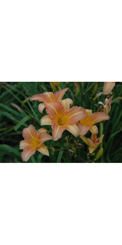 daylily blooms: SOPHIE (VT)