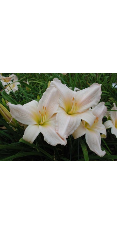 daylily blooms: TENDER LOVE
