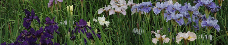 Field-Iris-wide-