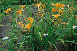 Daylily Clumps 2015: SWEET PUMPKIN (VT)
