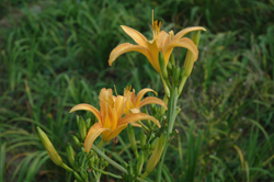 Daylily Clumps 2015: H. sempervirens