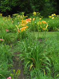 Daylily Clumps 2015: FAR FETCHED