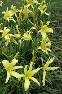 Daylily Clumps 2015: HYPERION