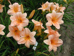 Daylily Clumps 2015: OLALLIE LADY