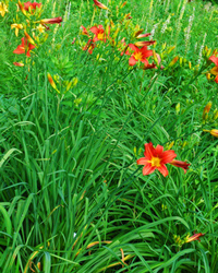 Daylily Clumps 2015: RED SENTINEL