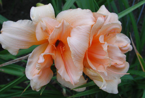 daylilies: ZELLA VIRGINIA