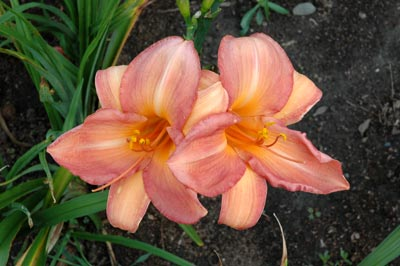 daylilies: COOKIE MONSTER