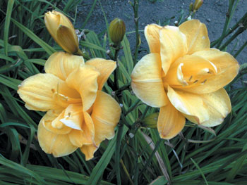 daylilies: LITTLE CARNATION