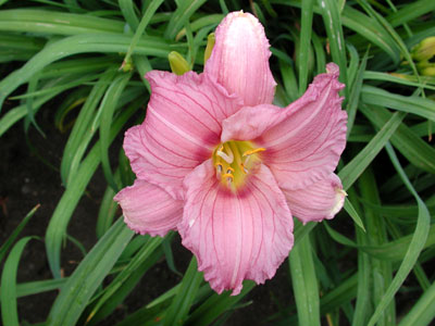 daylilies: NUMINOUS MOMENTS