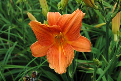 daylilies: ORANGE PERSIMMON (VT)