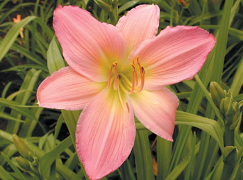 daylilies: PINK LAVENDER APPEAL