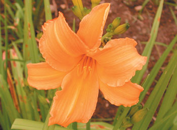daylilies: RIGHT REGAL (VT)