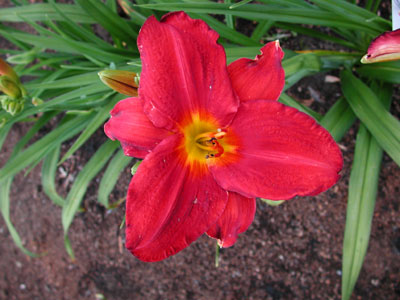 daylilies: ROLL TIDE (TO)