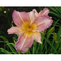 daylilies: VEILED LIGHT (VT)