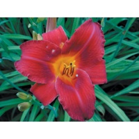 daylilies: VIRTUALLY VELVET (VT)