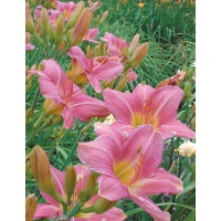 daylilies: VISIBLE TALENT (VT)