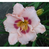 daylilies: WEBSTER LUPTON