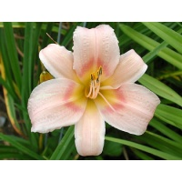 daylilies: WHILE AWAY (VT)