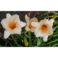 daylilies: WHY NOT (VT)
