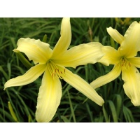 daylilies: YELLOW RIBBON