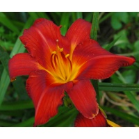 daylilies: OLALLIE PIPPIN TROUBLE (+15) (VT)