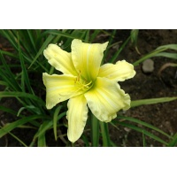 daylilies: BUTTER LEMON (VT)