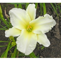 daylilies: + Gentle Shepherd type (VT)