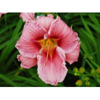 daylilies: OLALLIE BARBARA THOMPSON (VT)