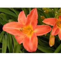 daylilies: EAST DOVER (VT)