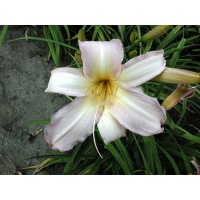 daylilies: DOUBLE EYEFUL