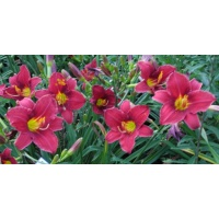 daylilies: OLALLIE ESTHER FULL OF GRACE (06-12)