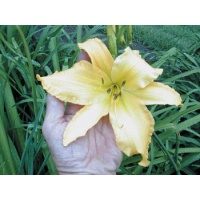 daylilies: DOWN SOUTH
