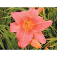 daylilies: ELEANOR (VT)