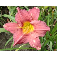 daylilies: FANTASTIC ROSE
