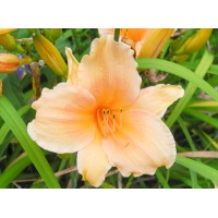 daylilies: ANNIE WELSH NOT (special late)