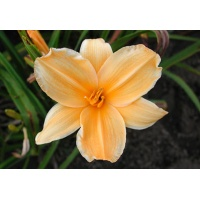daylilies: GOLD 'N GOLD (VT)