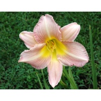 daylilies: ANNUAL APPEAL (VT)