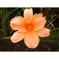 daylilies: HEAVENLY LACE