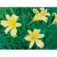 daylilies: H. citrina Hill type