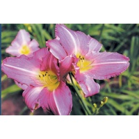 daylilies: LAVENDER ACCENT