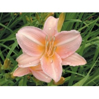 daylilies: LOVE THAT PINK