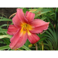 daylilies: MAKE WAY (VT)