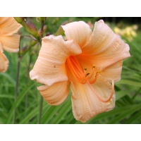 daylilies: BABY FACE (VT)