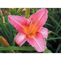 daylilies: MRS. ACKERLY (VT)